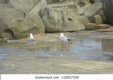 Two seagulls are standing in a rock pool, in front of a pile of sandstone. Their legs and beaks are red. Both are standing with their backs to the viewer, but one has his face turned to the side.