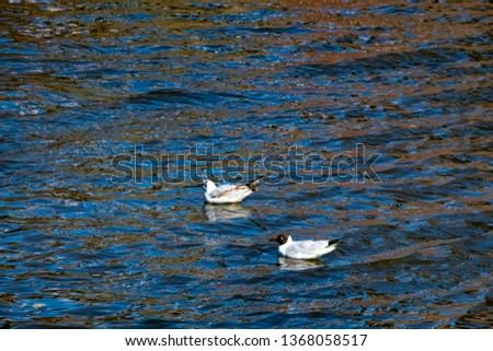 Two seagulls swimming