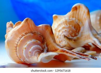 Two seashells close up on blue background