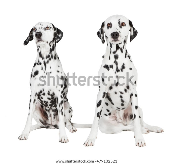 two seated dalmatian on white background