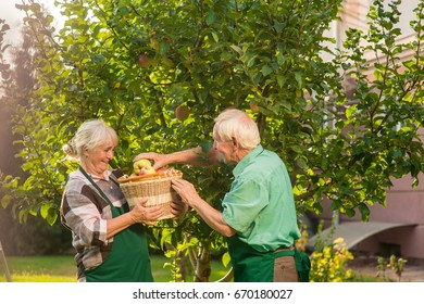 Two senior people picking apples. Woman holding basket and smiling. Fruits of our labor.