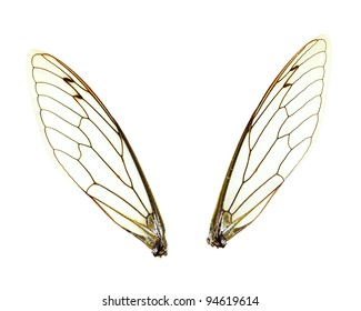 Two separate Cicada (Jar FLy) wings isolated over a white background with clipping path included.
