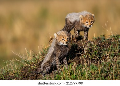 Two seven weeks old Cheetah cubs in Masai Mara watching her mother when hunting.  Her mother is Amani, daughter of Saba.