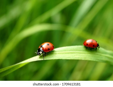 Two seven-spotted ladybugs on a blade of grass