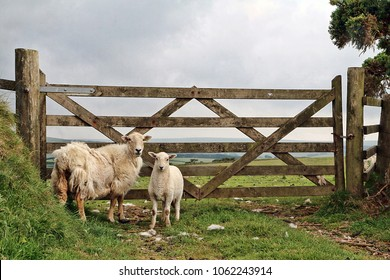 Two sheep by a farm gate in Exmoor.