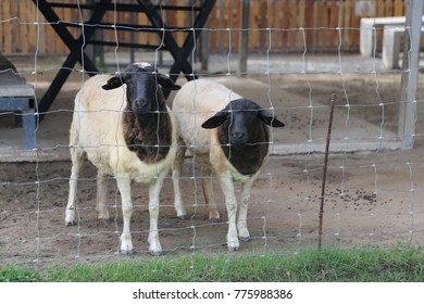 two sheep in the cage