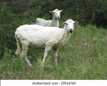 Two sheep in the fields