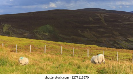 Two sheep grazing in the Cairngorms in Scotland, UK.