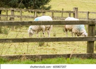 Two sheep grazing in green field in Ireland