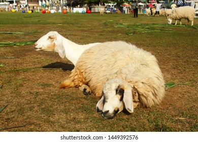 Two sheep laying on the ground