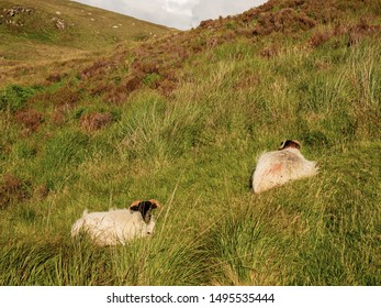 Two sheep laying on a ground in a grass in a mountains,