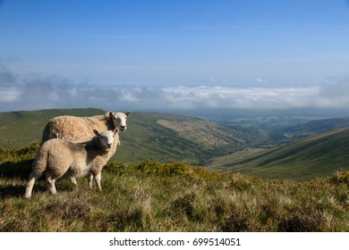 Two Sheep looking out from Pen y Fan in the Brecon Beacons National Park