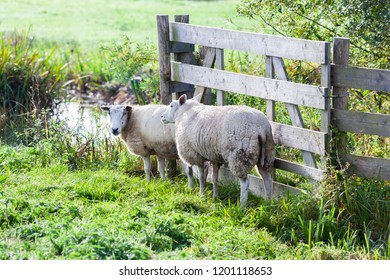 Two sheep near a wooden fence in the Netherlands