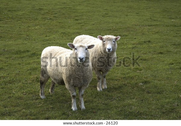 Two sheep in New Zealand