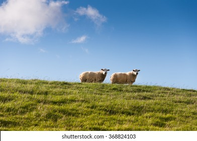 Two sheep on a dyke