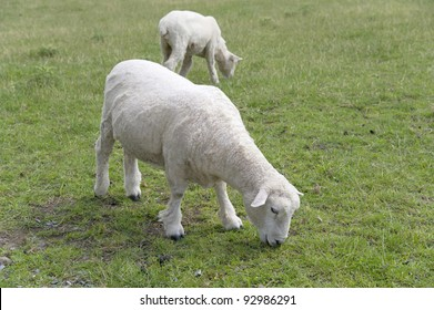 Two sheep on the grass field