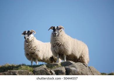 Two sheep on lookout duties on a hilltop, Scotland