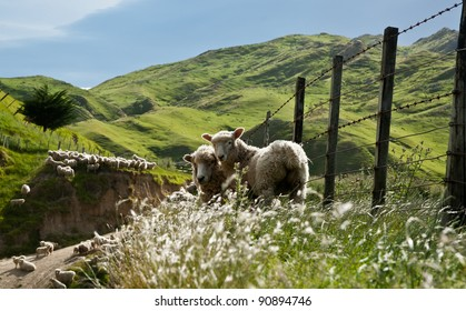 Two sheep on New Zealand farm.