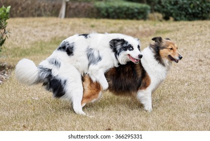 Two sheepdog making love, funny expressions.