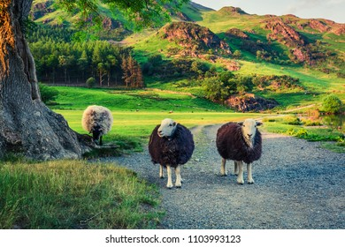 Two sheeps on pasture at sunset in the Lake District