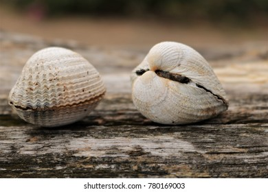 Two shells on a tree crushed by the seashore