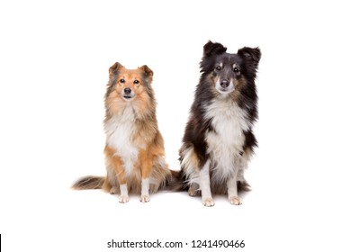 two shelties sitting in front of a white background
