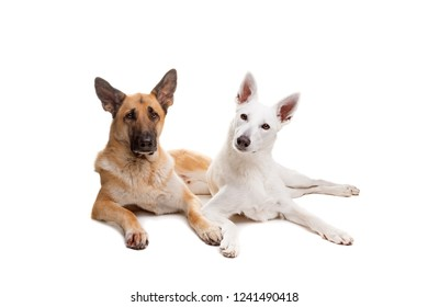 two shepherd dogs sitting in front of a white background