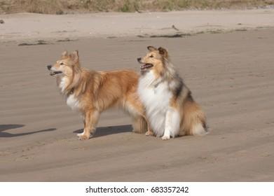 Two Shetland Sheepdogs on a sandy beach.