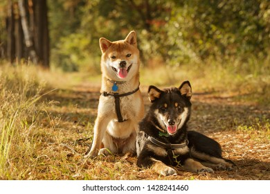 two shiba inu dogs sitting in summer forest