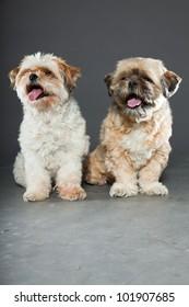 Two shih tzu dogs isolated on grey background. Studio shot.