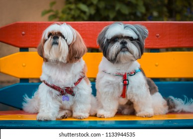 Two Shih Tzu dogs sitting in a bench outdoors