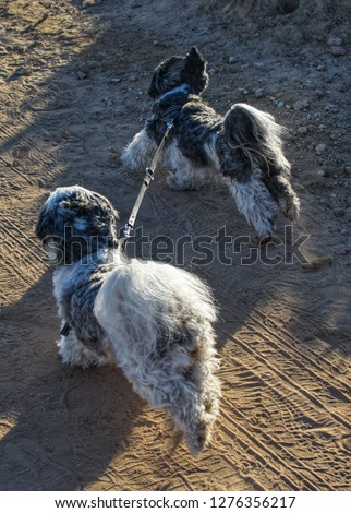 two-shih-tzu-taking-themselves-450w-1276