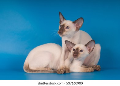 Two siam brother kittens portrait on blue background