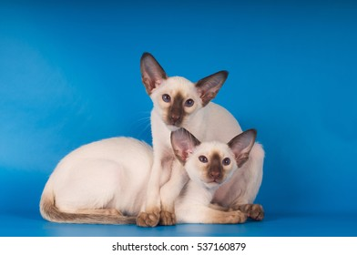 Two siam kittens portrait on blue background looking at camera