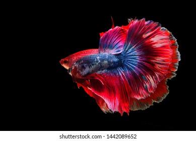 "Two Siamese Fighting fish are fighting, ""Fancy Halfmoon Betta"" Beautiful of betta fish in Thailand. Betta splendens Pla-kad (biting fish), Rhythmic of Betta fish isolated on black background"