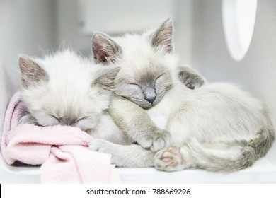 Two Siamese kittens sleeping and cuddling