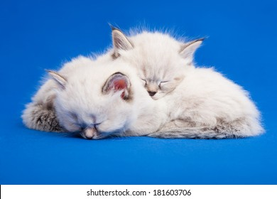 Two Siberian forest kittens are sleeping on blue background