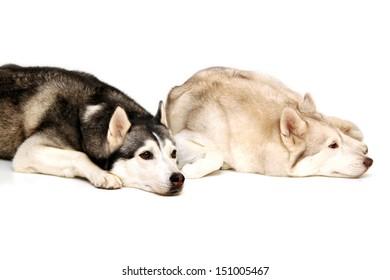 Two Siberian Huskies