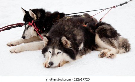 Two Siberian huskies lying on snow