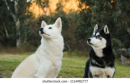 Two Siberian Husky dog sitting in a field with natural vegetation