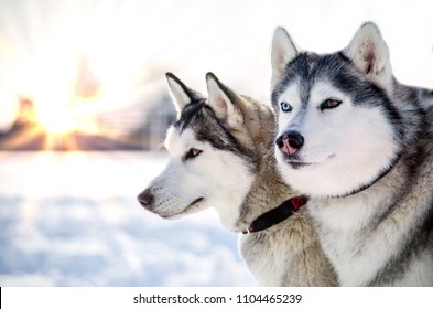 Two Siberian Husky dogs looks around. Husky dogs has black and white coat color. Snowy white background. Close up. Sunset.