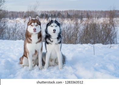 Two Siberian Husky dogs looks forward sitting on the snowy shore frozen river. Husky dogs black, brown and white coat color. Cute portrait beautiful dogs. Copy space.