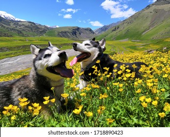 Two siberian husky dogs on a walk in the mountains in summer. Dogs lie on a flower meadow. Beautiful husky on a background of Caucasian alpine mountains