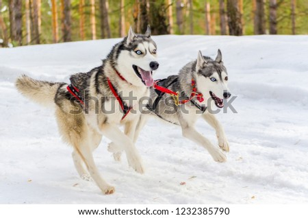 Two Siberian Husky Sled Dogs Harness Stock Photo (Edit Now ...
