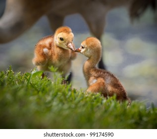 Two sibling sandhill crane chicks kiss