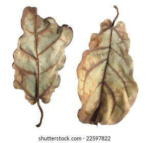 Two sides of a dead leaf, isolated on a white background