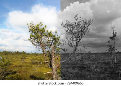Two Sides - One Life. Diseased trees. Health and illness part of the tree. Meaning of life.  Health care concept. Lifestyle. Marshland. Nature, ecosystem.  Estonia, Europe.
