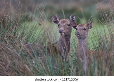 Two Silka deer hiding behind tall vegetation