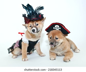 Two silly Shiba Inu puppies making silly faces, dressed up in pirate outfits on a white background