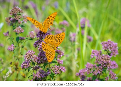 Two Silver-washed fritillaries foraging on meadow in summer